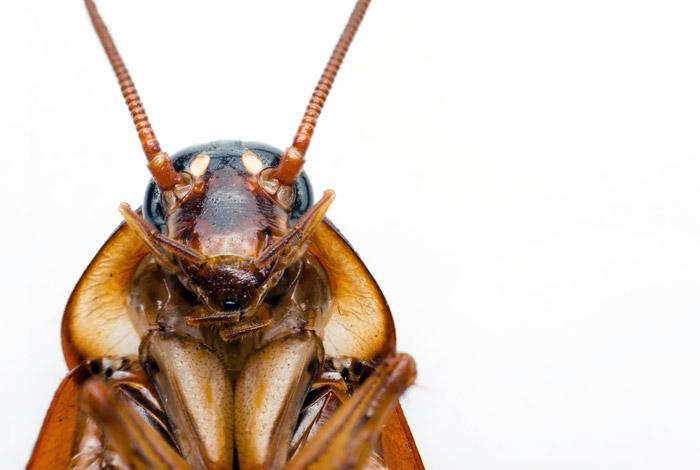 хлебарка